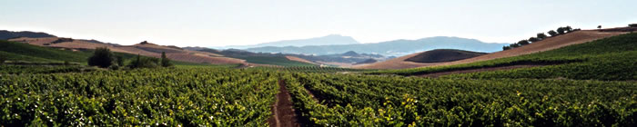 Chilean vineyards
